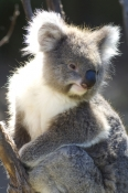 koala;southern-form-koala;phascolarctos-cinereus;healesville-wildlife-sanctuary;koala-picture;furry;koala-portrait