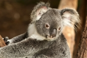 koala;adult-koala;phascolarctos-cinereus;koala-in-tree;koala-portrait;koala-head;koala-face;koala-close-up;marsupial;koala-breeding-program;kuranda;queensland;the-rainforest-station;cute;adorable;cuddly;lovable;horizontal-koala-picture;steven-david-miller