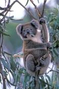 koala-picture;koala;koala-portrait;koala-in-tree;wild-koala;phascolarctos-cinereus;great-otway-national-park;great-ocean-road;angahook-forest;wild-koala-victoria