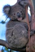 koala-picture;koala;koala-in-tree;wild-koala;kangaroo-island-koala;phascolarctos-cinereus;kangaroo-island