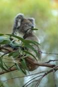 koala-eating-leaf