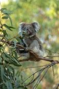 koala-eating-leaves