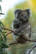 koala-paw