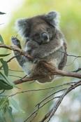 koala-scratching