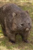 common-womat;young-wombat;wombat-walking;orphaned-wombat;vombatus-ursinus;tasmanian-wombat;devils-heaven-wildlife-park;wombat;wombat-picture