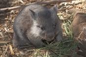 common-womat;young-wombat;wombat-walking;orphaned-wombat;vombatus-ursinus;tasmanian-wombat;bonorong-wildlife-park;wombat-picture;wombat;cute;cute-baby-animal