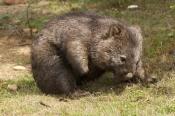 common-womat;young-wombat;wombat-scratching;orphaned-wombat;vombatus-ursinus;tasmanian-wombat;devils-heaven-wildlife-park;wombat-picture;wombat