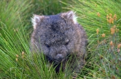 wombat-picture;wombat;baby-wombat;young-wombat;wombat-joey;vombatus-urninus-tasmaniensis;tasmanian-wombat;cute-baby-animal;cute-baby-marsupial;cute-baby-wombat;cradle-mountain-lake-st-clair-national-park;australian-national-park;tasmanian-national-parks;australian-marsupials;marsupials;steven-david-miller