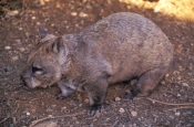 southern-hairy-nosed-wombat-picture;southern-hairy-nosed-wombat;southern-hairy-nosed-wombat