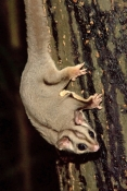 sugar-glider;sugarglider;petaurus-breviceps;sugar-glider-eating;atherton-tablelands;lake-eacham;eacham;north-queensland;small-marsupials;flying-marsupial;flying-possum;cute-little-animal;furry-animal;steven-david-miller
