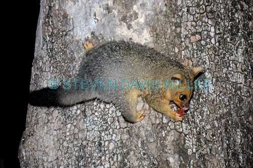 common brushtail possum;common brushtail possum picture;brushtail possum;possum;australian possum;marsupials;australian marsupials;brushtail possum eating;brushtail possum on tree;brushtail possum in tree