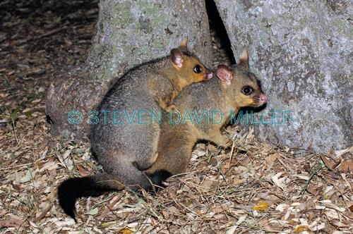 common brushtail possum;common brushtail possum picture;brushtail possum;brushtail possum in tree;brushtail possum in den;possum;australian possum;australian marsupials;marsupials;female brushtail possum with baby;possum with a baby on her back;possum with baby
