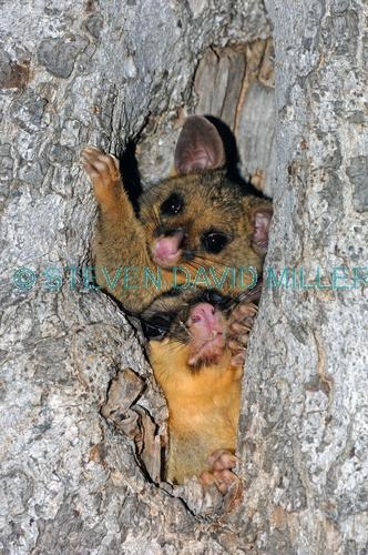 common brushtail possum;common brushtail possum picture;brushtail possum;brushtail possum in tree;brushtail possum in den;possum;australian possum;australian marsupials;marsupials;female brushtail possum with baby;possum with baby