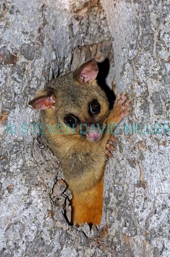 common brushtail possum;common brushtail possum picture;brushtail possum;brushtail possum in tree;brushtail possum in den;possum;australian possum;australian marsupials;marsupials