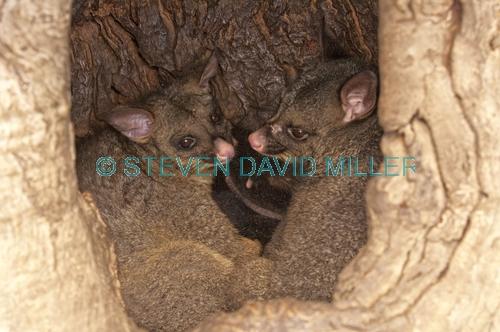 common brushtail possum;brushtail possum;trichosurus vulpecula;tasmanian possum;possums in tree hollow;common brushtail possum picture;possums in tree den;possums in den;possums nesting