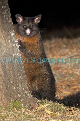 common brushtail possum;brushtail possum;trichosurus vulpecula;tasmanian possum;mount field national park;tasmania;common brushtail possum picture;marsupials;possum;australian marsupials;australian possum