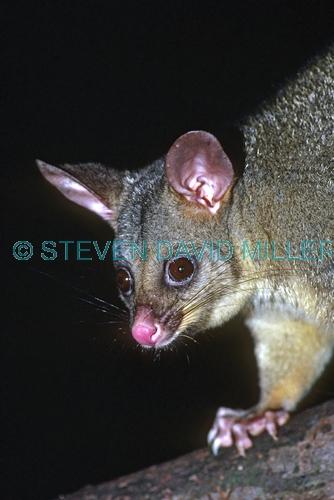 brushtail possum picture;brushtail possum common brushtail possum;bushy tail possum;silver grey possum;trichosurus vulpecula;possum;australian marsupials;cute furry animal;lamington national park;australian national parks;queensland national parks;steven david miller