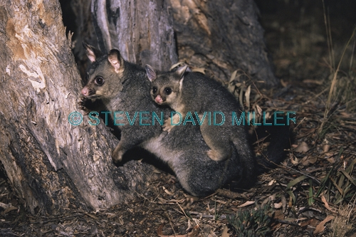 AUSTRALIA;BABY;BEHAVIOUR;CARRYING;CUTE;HORIZONTAL;INTERACTION;MAMMALS;MARSUPIALS;MOTHER;POSSUMS;TRICHOSURUS VULPECULA;VERTEBRATES