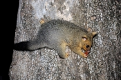 common-brushtail-possum;common-brushtail-possum-picture;brushtail-possum;possum;australian-possum;marsupials;australian-marsupials;brushtail-possum-eating;brushtail-possum-on-tree;brushtail-possum-in-tree