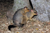 common-brushtail-possum;common-brushtail-possum-picture;brushtail-possum;brushtail-possum-in-tree;brushtail-possum-in-den;possum;australian-possum;australian-marsupials;marsupials;female-brushtail-possum-with-baby;possum-with-baby-on-her-back;possum-with-baby