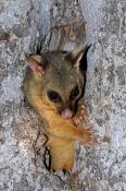 common-brushtail-possum;common-brushtail-possum-picture;brushtail-possum;brushtail-possum-in-tree;brushtail-possum-in-den;possum;australian-possum;australian-marsupials;marsupials