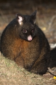 common-brushtail-possum;brushtail-possum;trichosurus-vulpecula;tasmanian-possum;mount-field-national-park;tasmania;common-brushtail-possum-picture;marsupials;possum;australian-marsupials;australian-possum