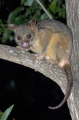 common-brushtail-possum-picture;common-brushtail-possum;brushtail-possum;brushtail-possum-subspecies;trichosurus-vulpecula-arnhemensis;top-end-possum;kimberley-possum