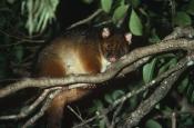 AUSTRALIA;MAMMALS;MARSUPIALS;NIGHT;POSSUMS;TREES;TRICHOSURUS-SP;VERTEBRATES