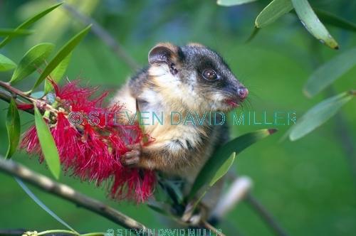 ringtail possum picture;ringtail possum;ring tail possum;baby ringtail possum;baby possum;orphaned possum;australian possum;possums of australia;cute baby animal;cute animal;victoria;steven david miller