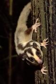 striped-possum;dactylopsila-trivirgata;possum;small-marsupial;black-and-white-animal;possum-eating;atherton-tablelands;lake-eacham;eacham;north-queensland;small-marsupials;cute-little-animal;furry-animal;steven-david-miller