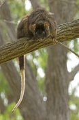 western-ringtail-possum;pseudocheirus-occidentalis;endangered-species;possum;busselton;western-ringtail-possum-picture;ringtail-possum;possum;australian-possum;australian-marsupials