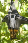 black-flying-fox;pteropus-alecto;fruit-bat-hanging-upside-down;flying-fox-hanging-upside-down;litchfield-national-park;flying-fox;fruit-bat;australian-bats;australian-fruit-bats