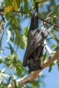 black-fruit-bat;australian-national-parks