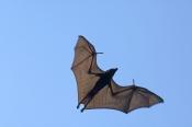 black-flying-fox;pteropus-alecto;fruit-bat-flying;tunnel-creek-national-park;flying-fox-flying;australian-bats;australian-fruit-bats;australian-flying-fox