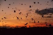 Flying Fox Colonies