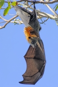 grey-headed-flying-fox;grey-headed-flying-fox;flying-fox;fruit-bat;australian-flying-fox;australian-fruit-bat;sydney-botanical-gardens;sydney-bats;fruit-bat-hanging-upside-down;bat-wing