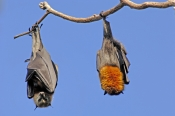 grey-headed-flying-fox;grey-headed-flying-fox;flying-fox;fruit-bat;australian-flying-fox;australian-fruit-bat;sydney-botanical-gardens;sydney-bats;fruit-bat-hanging-upside-down;bat-hanging;fruit-bat-sleeping;fruit-bats;multiple-fruit-bats;two-fruit-bats