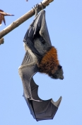 grey-headed-flying-fox;grey-headed-flying-fox;flying-fox;fruit-bat;australian-flying-fox;australian-fruit-bat;sydney-botanical-gardens;sydney-bats;fruit-bat-hanging-upside-down