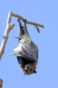 grey-headed-flying-fox;grey-headed-flying-fox;flying-fox;fruit-bat;australian-flying-fox;australian-fruit-bat;sydney-botanical-gardens;sydney-bats;fruit-bat-hanging-upside-down;bat-hanging;fruit-bat-sleeping