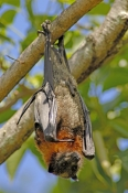 grey-headed-flying-fox;grey-headed-flying-fox;flying-fox;fruit-bat;australian-flying-fox;australian-fruit-bat;sydney-botanical-gardens;sydney-bats;fruit-bat-hanging-upside-down;bat-hanging