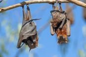 little-red-fruit-bat;australian-national-parks