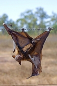 little-red-flying-fox;little-red-flying-fox;flying-fox;fruit-bat;animal-caught-in-barbed-wire;bat-caught-in-barbed-wire;barbed-wire-hazard