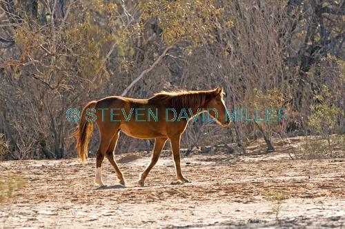 horse;wild horse;brumby;egus caballus;muloorina station;oodnadatta track;south australia;feral horse