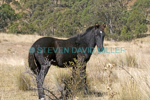 brumby picture;brumby;brumbies;wild horses;wild horse;snowy mountain brumby;snowy mountains;snowy wilderness;brumby sanctuary;wild horse sanctuary;australian wild horse;wild horse australia;equus caballus