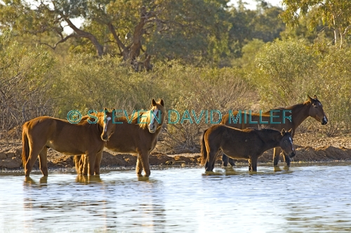 horse;wild horse;brumby;egus caballus;sturts stony desert;stony desert;muloorina station;oodnadatta track;south australia;feral horse