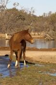 horse;wild-horse;brumby;egus-caballus;muloorina-station;oodnadatta-track;south-australia;feral-horse