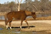 horse;wild-horse;brumby;egus-caballus;muloorina-station;oodnadatta-track;south-australia;steven-david-miller