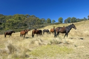 brumby-picture;brumby;brumbies;wild-horses;wild-horse;snowy-mountain-brumby;snowy-mountains;snowy-wilderness;brumby-sanctuary;wild-horse-sanctuary;australian-wild-horse;wild-horse-australia;equus-caballus