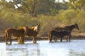 horse;wild-horse;brumby;egus-caballus;sturts-stony-desert;stony-desert;muloorina-station;oodnadatta-track;south-australia;feral-horse