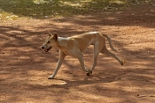 dingo-picture;dingo;dingo-mixed-with-domestic-dog;dingo-mixed-with-camp-dog;dingo-mix;canis-lupus-dingo;dingo-running;dingo-at-Kakadu-National-Park;dingo-in-the-northern-territory;kakadu-national-park;northern-territory;australian-wild-dog;steven-david-miller